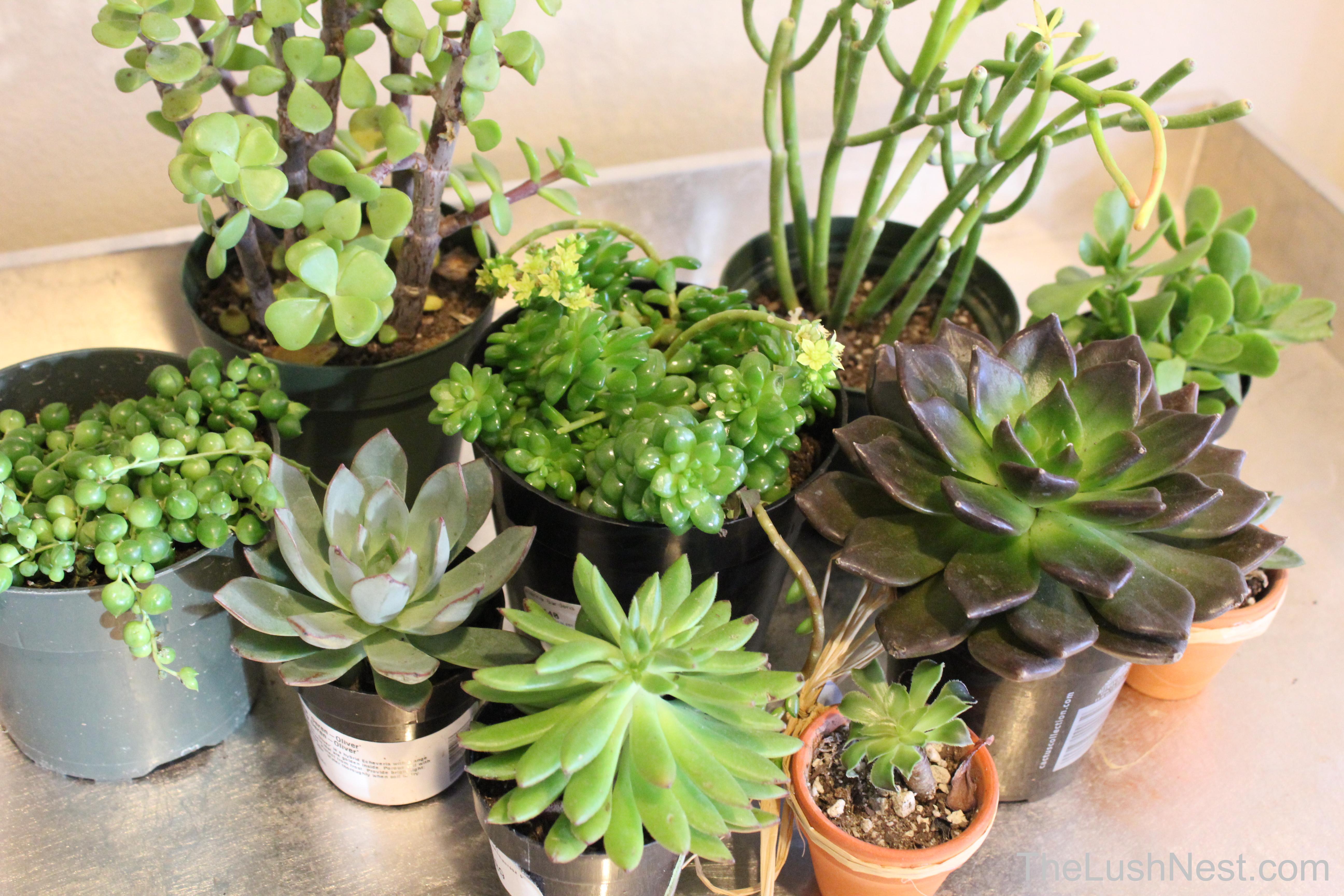 Succulents galore the lush nest for Soil for succulents